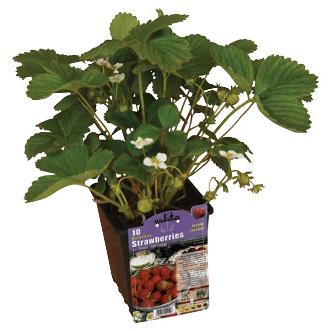 Plant de fraises ou rhubarbe en contenant de 1 gal, assorti