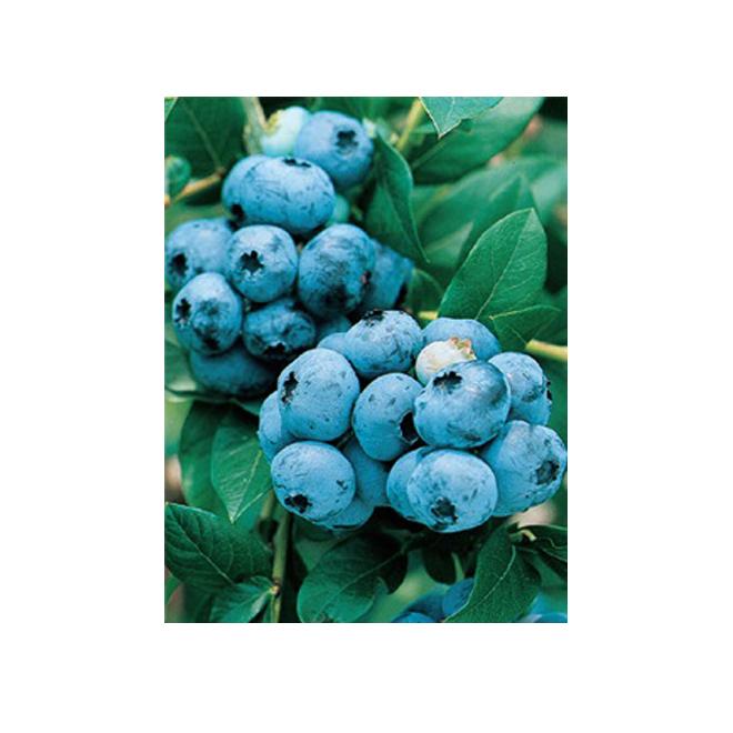 Bleuets de variété assorties, contenant de 1 gallon