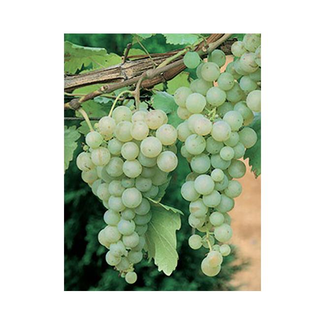 Vignes à raisins assorties, contenant de 1 gallon