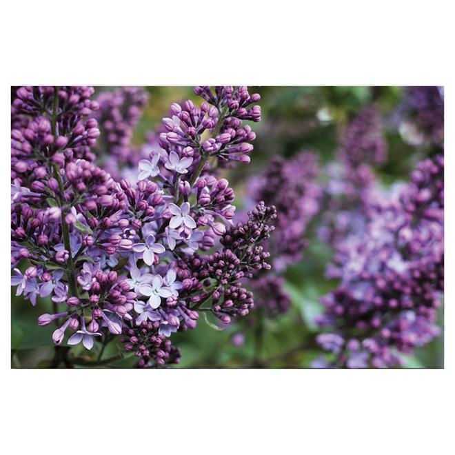 Pan American Nursery - Assorted Lilac - 1 Gallon