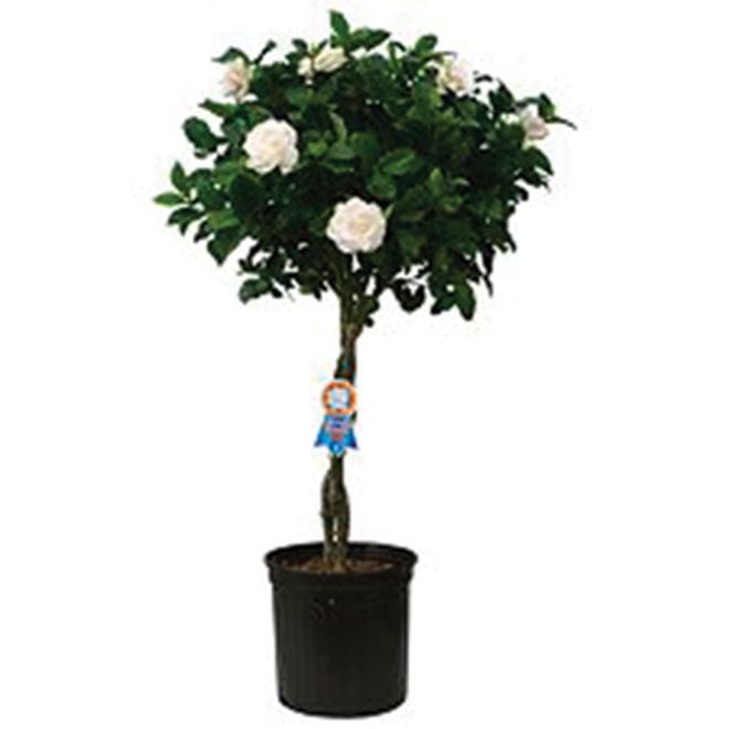 """Gardenia Tressé 10"""""""