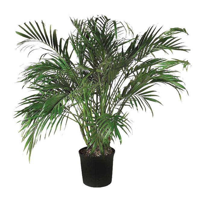 Cat Palm Tree 10 in