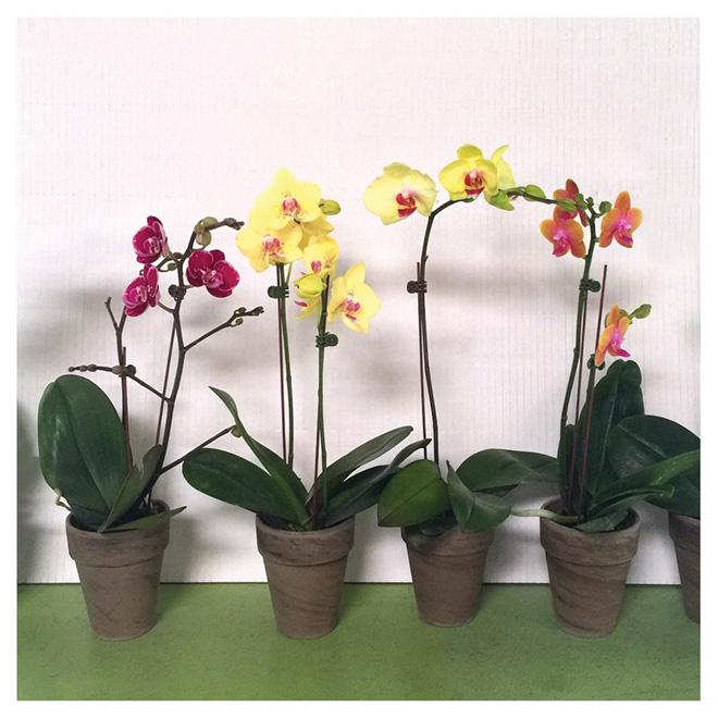 Phalaenopsis Entreprises Marsolais, pot en grès de 4 po, couleurs assorties