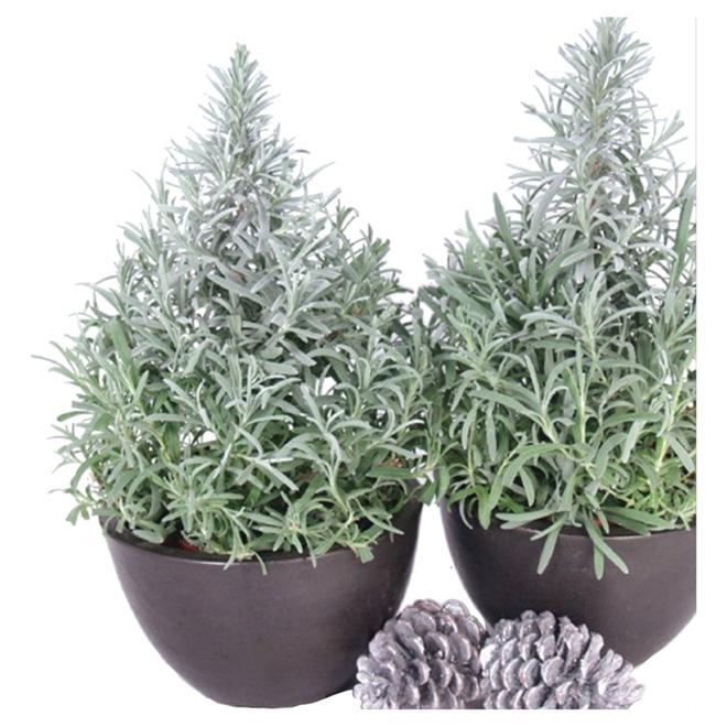 "Cone-Shaped Lavender - 6"" Pot"