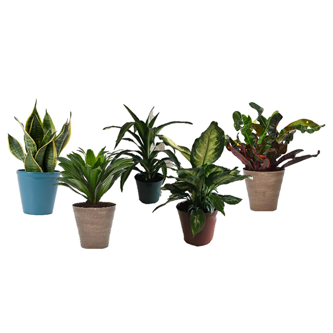 "Plantes tropicales assorties, Deluxe, 6"""