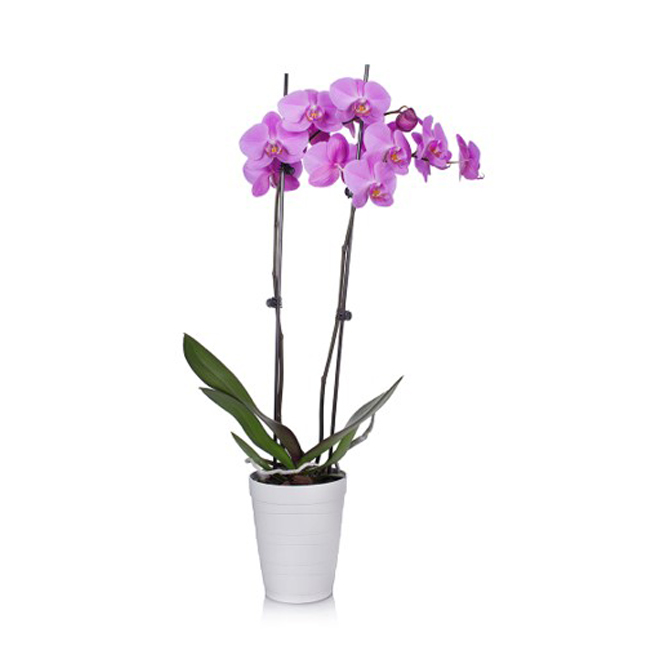Entreprises Marsolais Phalaenopsis in Decorative 5-in Pot - Assorted Colour
