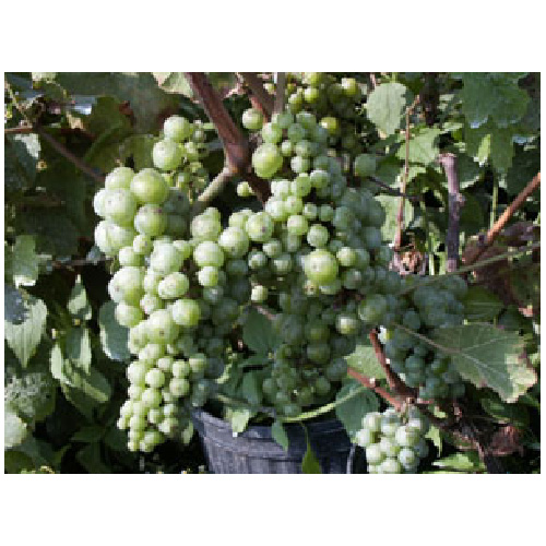 Vigne à raisin
