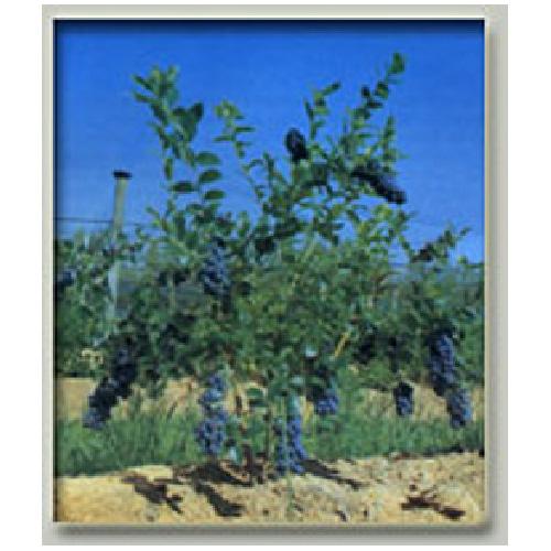 Plant de bleuets