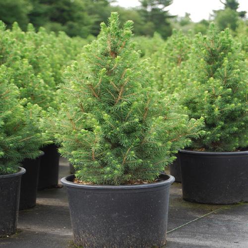 Picea Conica # 3, 24'', assorti