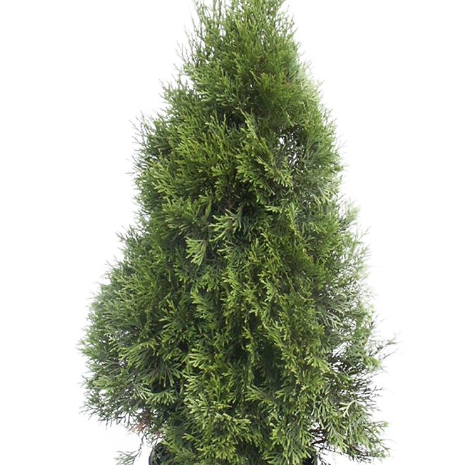 Thuya fastigiata, 1,1 m, vert