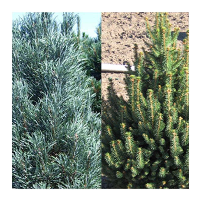 Pinus et Picéa Abbotsford assortis, pot #5