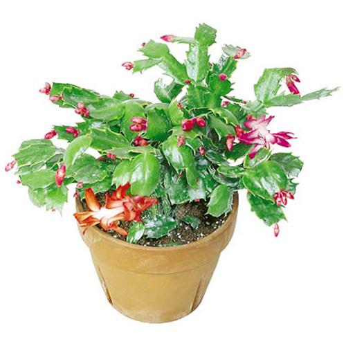 """Cactus de Noël en pot de 4"""""""