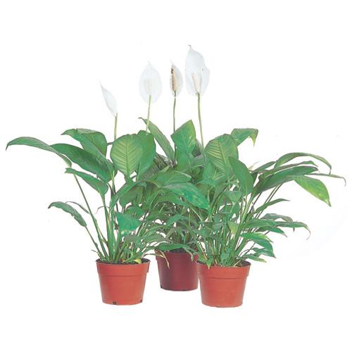 """Spathiphyllum, 6"""""""