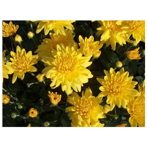 """Chrysanthème, pot de 4,5"""", couleurs assorties"""