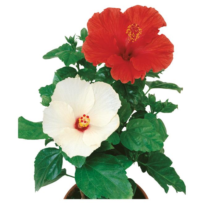 Hibiscus, assorti