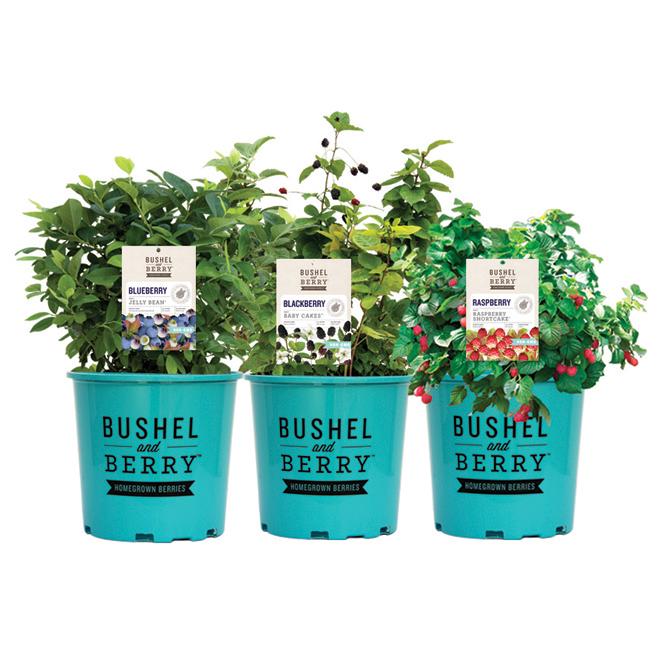 Arbuste fruitier assorti, pot 1 gallon