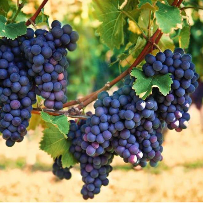 Arbuste fruitier Garden Treasures, raisins Beta, 1 gallon