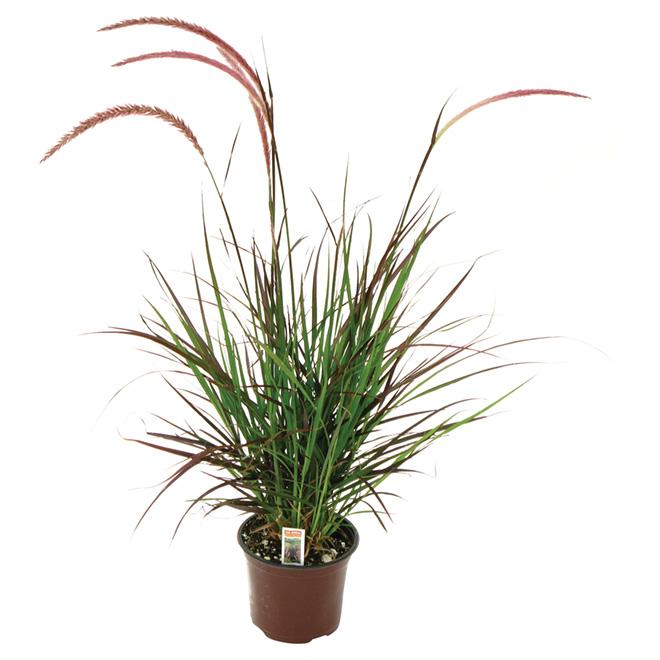 Rubrum Grass - 6-in Pot Red