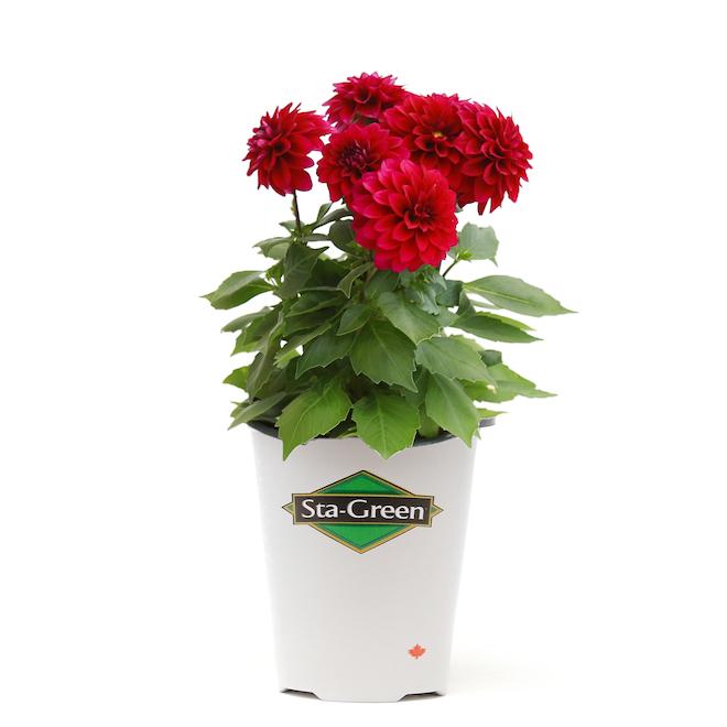 Dahlias contenant de 1 gallon, couleur assortie