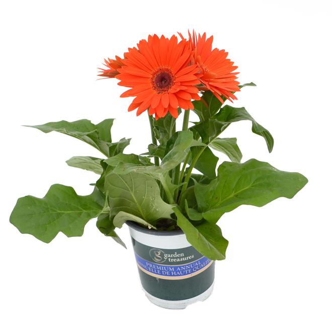 Gerberas pot de 4,7 po, couleurs assorties