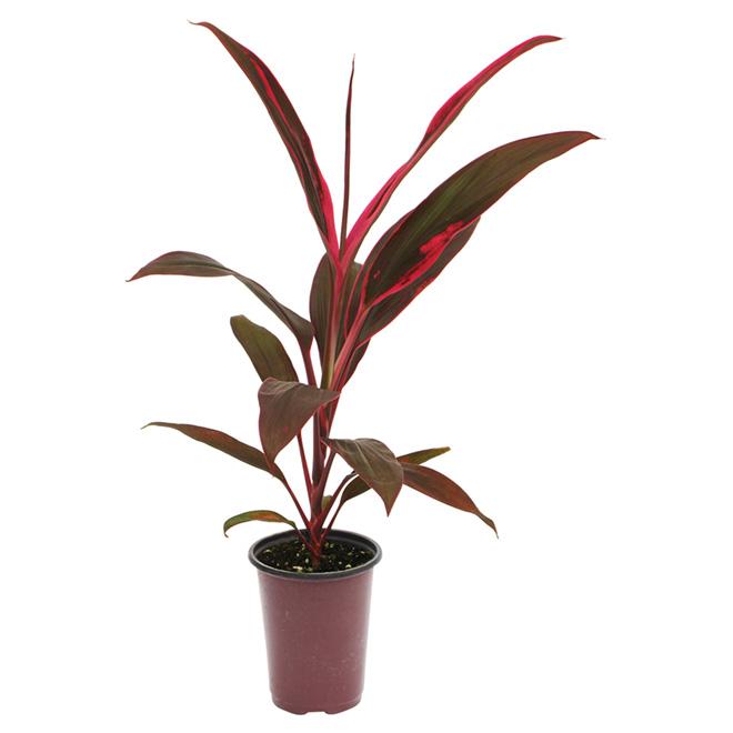 Plante tropicale 1 l couleurs assorties