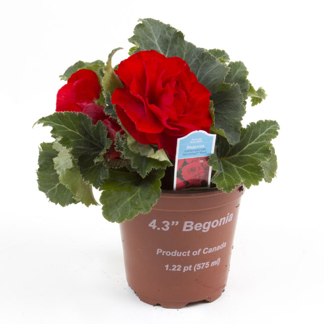 """Begonia - 4.3"""""""