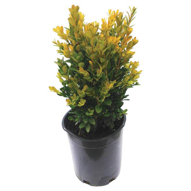 Arbuste «Buxus»