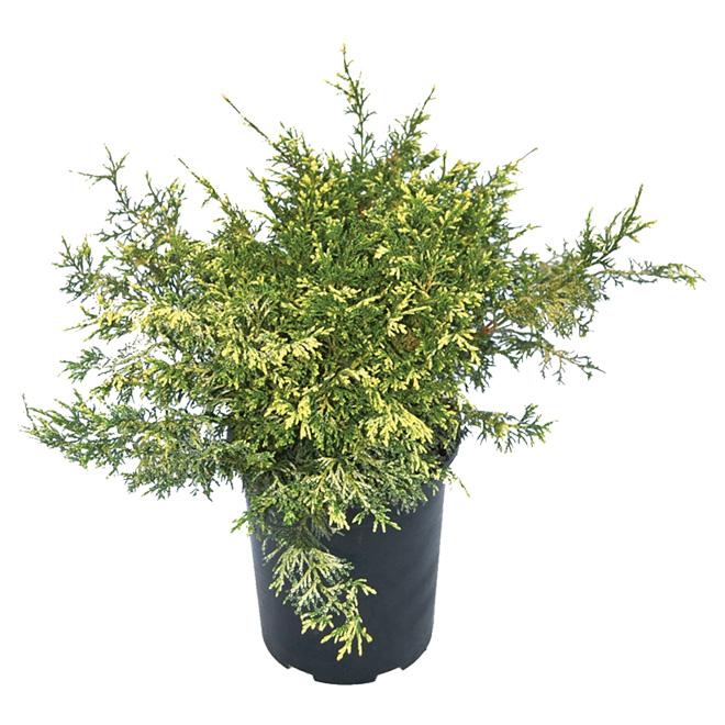 Arbuste Juniperus, 1 gal, assorti