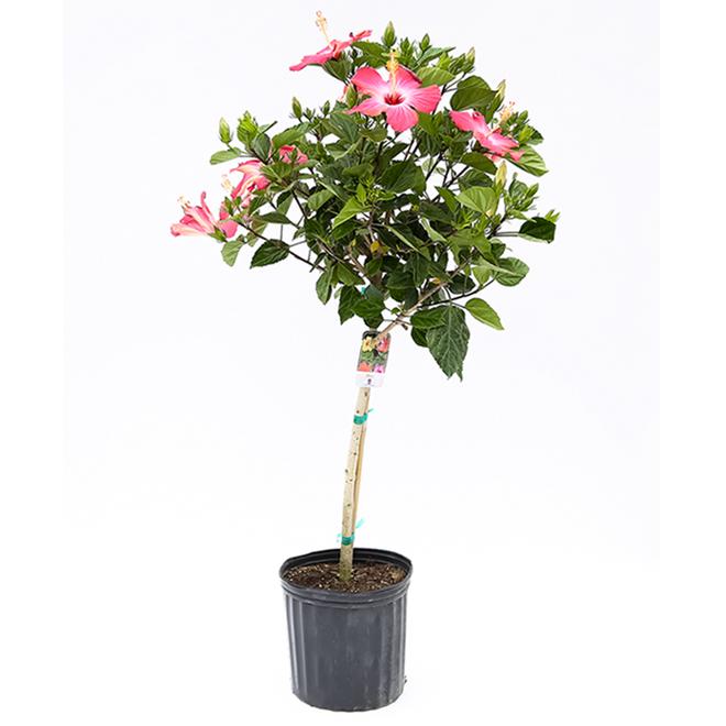 Hibiscus en pot de 10 po, couleurs assorties
