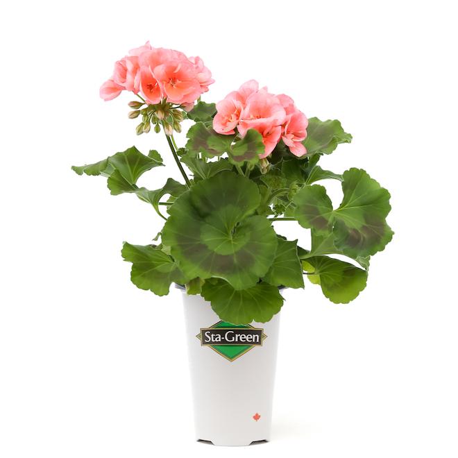 Geraniums in 1 L Pot - Assorted Colours