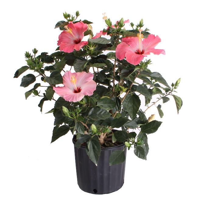 Buisson hibiscus de Devry Greenhouse, pot de 10 po, assorti
