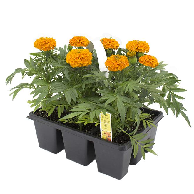 Plantes annuelles assorties pour plates-bandes, paquet de 9