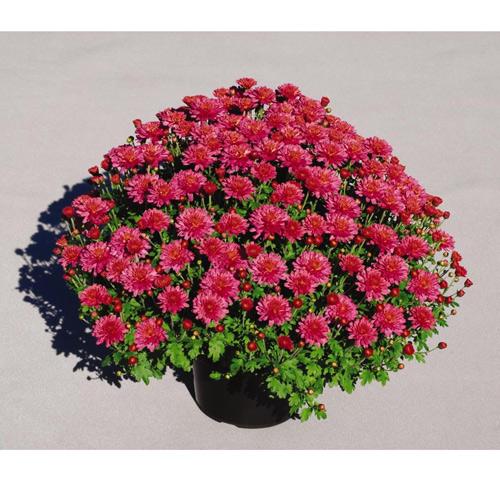Jardin de chrysanthème, pot de 9 po, couleurs assorties