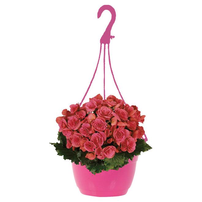 Begonia sur panier suspendu de 10 po, couleurs assorties