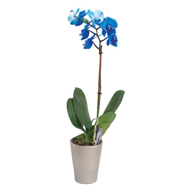 Orchidée «Phalaenopsis»