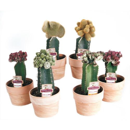 Plantes - Cactus corail