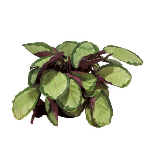 Plants - Calathea - Assorted