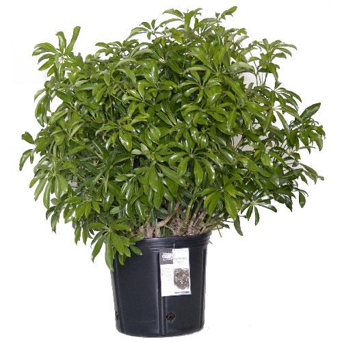 Plantes - Buisson Arboricola