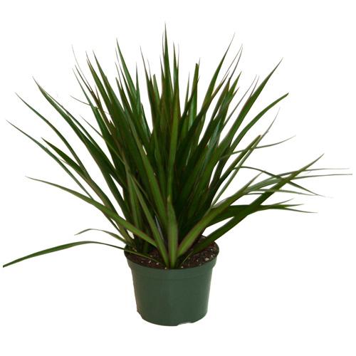 "Plants - ""Marginata"" Bush"