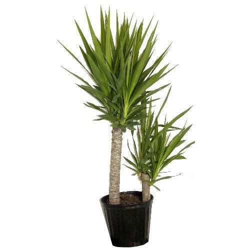 Plantes - Arbuste « Yucca Cane »