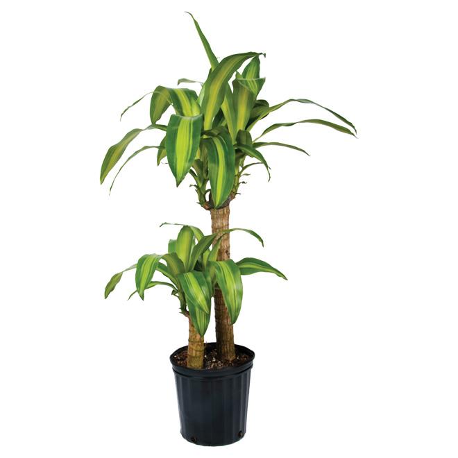 Plantes - Buisson « Mass Cane »