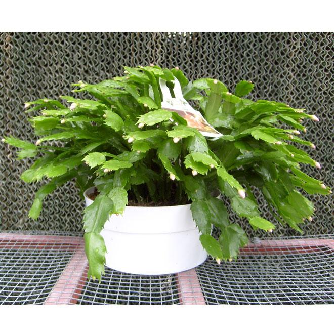 Cactus «Zygo»