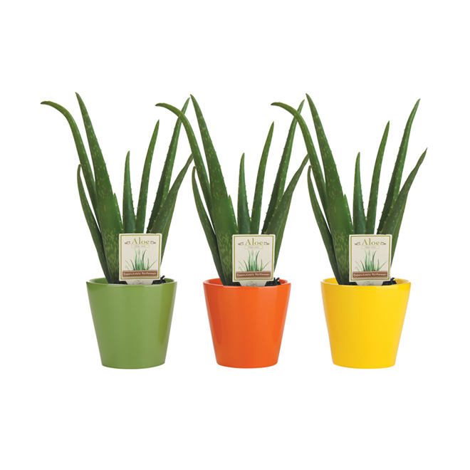 Aloe Vera, pot de 4 po, assorti