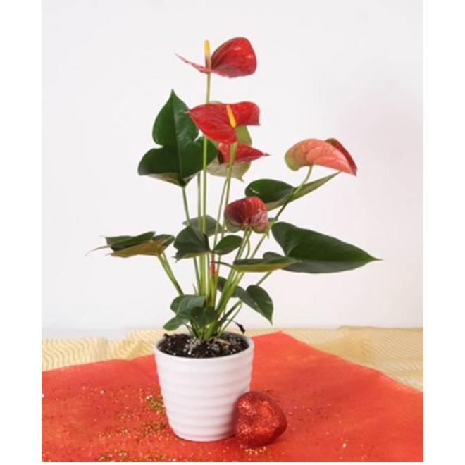 Anthurium, pot en céramique de 4 po