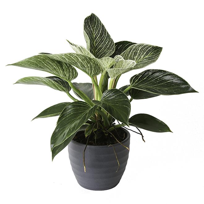 Birkin Philodendron 6-in