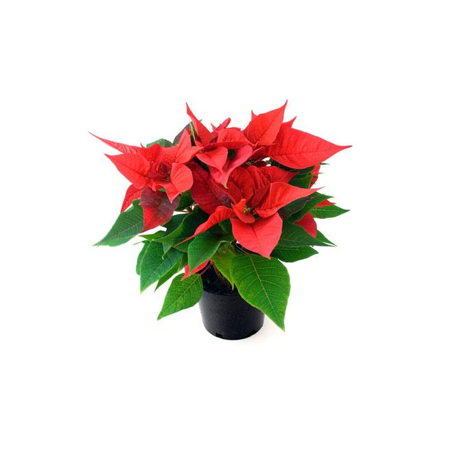 """Poinsettia 4"""" assortis"""