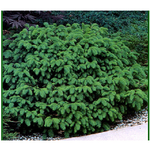 Nest Spruce - 2.5' - 3 Gallons