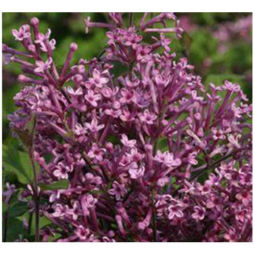 """""""Bloomerang"""" Lilac"""