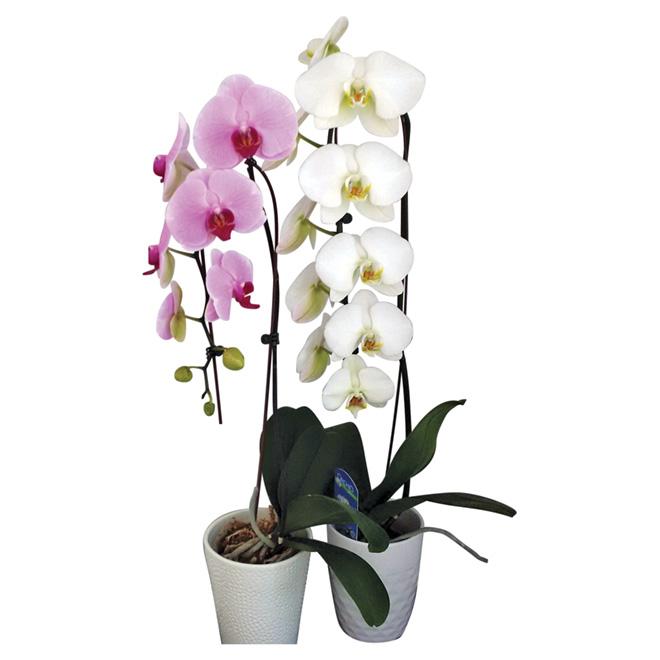 Orchidée Phalaenopsis cascades, pot de 5'', couleurs assorties