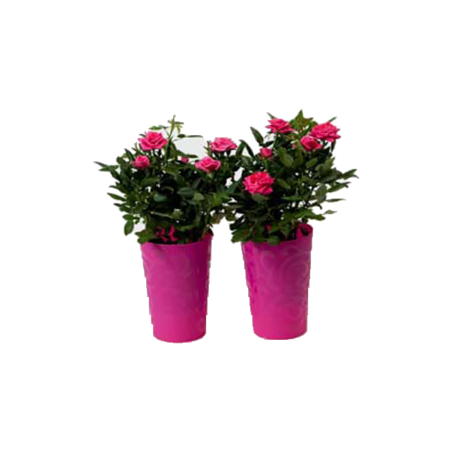 "Mini-rosier en pot, 4"", couleurs assorties"